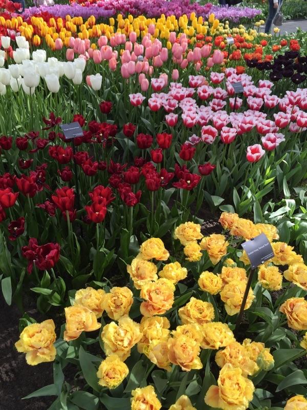 netherlands_Keukenhof_tulip04