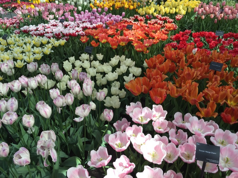 netherlands_Keukenhof_tulip06