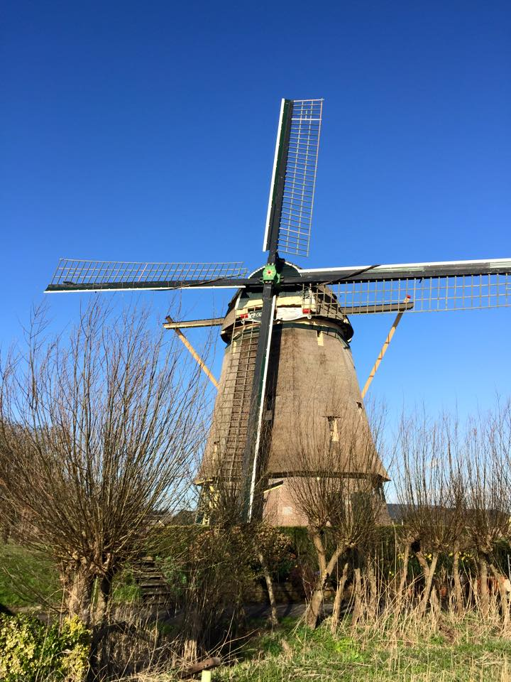 netherlands_cow1