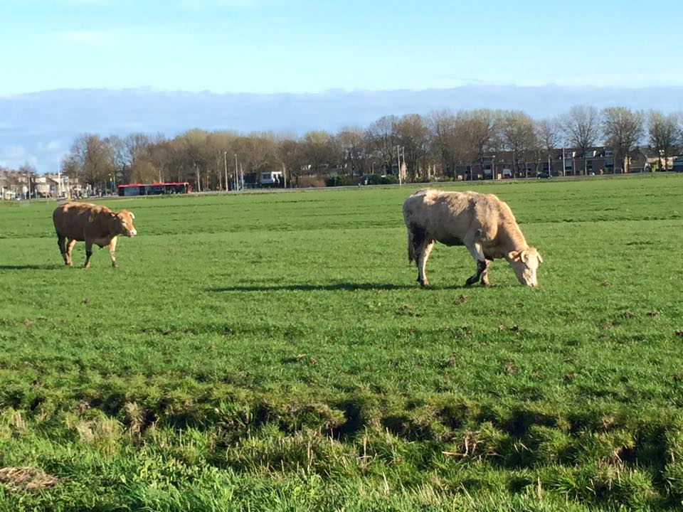 netherlands_cow3