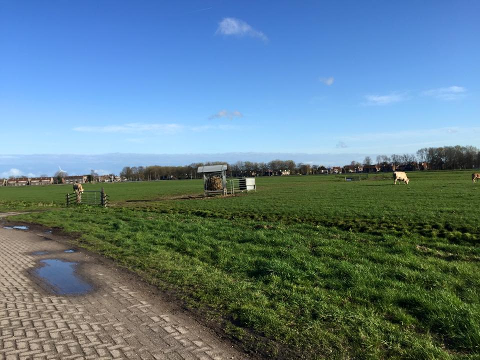 netherlands_cow4